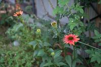 エキナセアの惚れ惚れするような造形美 - HANA 花♪菜園日記