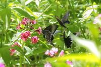クリンソウと黒いアゲハチョウ - 上州自然散策2