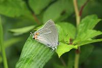 ヒロオビミドリシジミキマルリとともに - 蝶のいる風景blog
