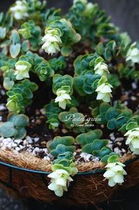 オレガノ ロタンダフォーリア - Pastel green - Flower diary