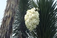 本日の「ユッカ・バリダ」! - 手柄山温室植物園ブログ 『山の上から花だより』