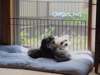 ミカ、膝蓋骨脱臼の手術から一年 - 犬のまいにち