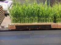 田植 - 岡山の米作り名人