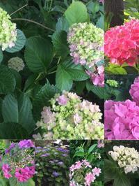 庭の紫陽花が色づきました!「しばらく紫陽花のファッションショーを愉しみます」編 - ドライフラワーギャラリー⁂ふくことカフェ