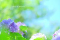 下田公園あじさい - Photographie de la couleur