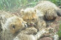 五つの毛玉(14:00~15:00) - 動物園へ行こう