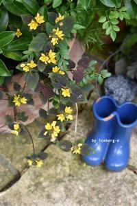 裏庭のリシマキア・ミッドナイトサン - 小さな庭 2