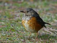 カラアカハラ - Nobbyの鳥ぶろぐ