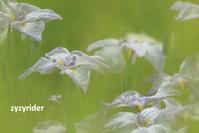 ぼんやりとハナショウブ - ジージーライダーの自然彩彩