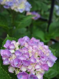 6月の紫陽花と裏庭のお花たち - 小さな花アトリエ