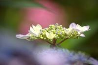 紫陽花 - 木を見て森も見たい