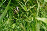 ふわふわキアゲハ(黄揚羽蝶) - 身近な自然を撮る
