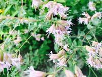 Origanum hybrid - Healing Garden  ー草庭ー