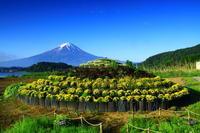 29年6月の富士(16)大石公園の富士 - 富士への散歩道 ~撮影記~