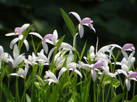 トキソウが咲いて、いつの間にか白花の中にピンクも混植(^^ゞ - 窓の向こうに