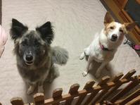 レイニーデイ - 琉球犬mix白トゥラーのピカ
