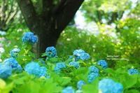 紫陽花。。 - jumhina biyori*
