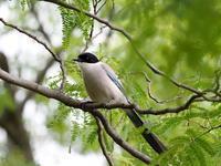梢のオナガ - コーヒー党の野鳥と自然 パート2