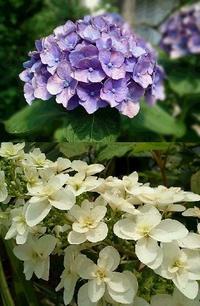 梅雨の晴れ間 - グリママの花日記