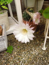 サボテンの開花とシフォンケーキ - blancheの日記