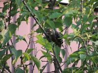 やっと撮れた。庭の木のコゲラ。 - 大朝=水のふる里から