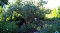 ブッドレア(蝶の木)の木陰 - コテージ便り