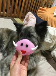 急用 - 琉球犬mix白トゥラーのピカ