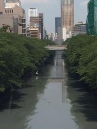 今日の目黒川 - 鏑木木材株式会社 ブログ