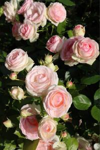ピエールドゥロンサールの誘引 - my small garden~sugar plum~