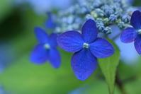 *紫陽花ブルー* - 今日もカメラを手に・・・♪