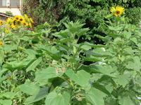 ひまわりが咲く畑で掘り起こし・植え替え・収穫の畑仕事 - 光さんの日常