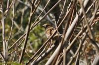 カヤクグリ - くろせの鳥
