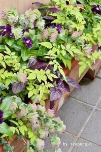 ニチニチソウ・ブラックベリーの寄せ植え - 小さな庭 2