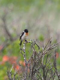 霧ヶ峰はノビタキだらけ - コーヒー党の野鳥と自然 パート2