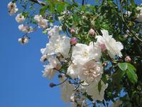 バラの季節のナイマンズ1 -  Der Liebling ~蚤の市フリークの雑貨手帖2冊目~