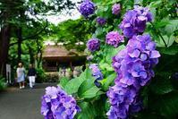 紫陽花寺 - kogomiの気ままな一コマ