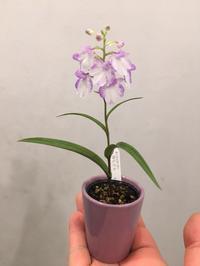 ウチョウラン(夢ちどり)のご紹介 - ~ Flower Shop D.STYLE ~ (新所沢パルコ・Let's館1F)