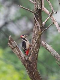 霧ヶ峰でアカゲラと遭遇 - コーヒー党の野鳥と自然 パート2