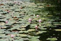 睡蓮の咲く池 - aco* mode