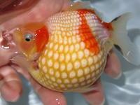 6月29日新着金魚のご紹介です。その3 - フルタニ金魚倶楽部blog