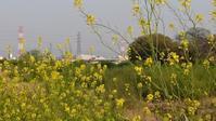 猪名川の菜の花【あま新百景020】 - あそび計画 in Japan
