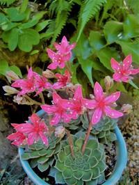 多肉植物の花を使って小品花 - 活花生活(2)