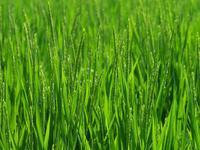 稲の花 - 南風のデジタル写真日記