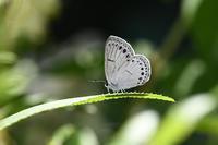 ウラゴマダラシジミ(2017/05/28) - Sky Palace -butterfly garden- II