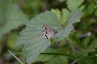 ヒメウラジャノメ2化7月1日 - 超蝶