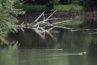 文月  夏の大池 - 鹿深の森