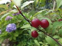 庭の赤い実 - アオモジノキモチ