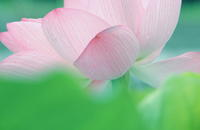 蓮池で遊ぶ・・ - 花々の記憶