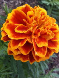 marigold - Strike while the iron is hot.