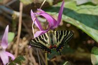 本日の1枚2017年4月2日12時11分「やっと出会えた初ギフは越中富山」 - 安曇野の蝶と自然